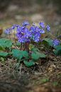 Hepatica flower wild nobilis flowers in forest Stock Photo
