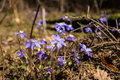 Hepatica in forest wild nobilis flowers Royalty Free Stock Photos