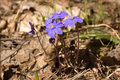 Hepatica in forest wild nobilis flowers Stock Photos