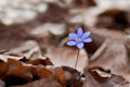 Hepatica nobilis Stock Images