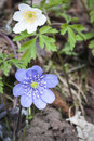 Hepatica nobilis with Anemone nemorosa Royalty Free Stock Photo
