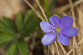 Hepatica nobilis detailed view of horizontally Royalty Free Stock Images
