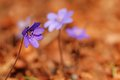 Hepatica nobilis flower Royalty Free Stock Images