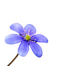 Hepatica nobilis isolated on white background macro shot Stock Photos