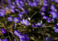 Hepatica nobilis jh flowering during spring in sweden Stock Images