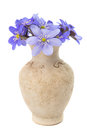 Hepatica nobilis in a vase on white background Stock Image