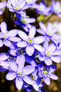 Hepatica nobilis violet spring flower Stock Photos