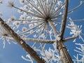 Heracleum mantegazzianum Stock Images