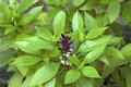 Herb clove basil leaves and flowers vana tulsi or native of india east africa garden fragrant half hardly perennial herbal plant Stock Image