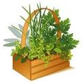 Herb Garden in Wooden Basket Royalty Free Stock Photo