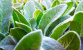 Herb Lambs ear Royalty Free Stock Photo