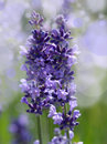 Herb lavender Stock Images