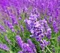 Herb lavender Stock Image