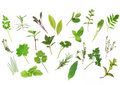 Herb Leaf Selection Stock Image