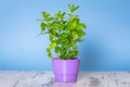 Herb mint growing in a pot Royalty Free Stock Photo