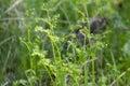 Herb The Plant Fern Siberian M...