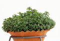 Herb plants in to the pot on the balcony thyme mentha and thai basil potted ceramic Stock Photos