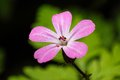 Herb Robert Royalty Free Stock Photos