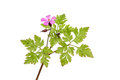 Herb robert geranium robertianum wild flower and foliage isolated against white Royalty Free Stock Photo