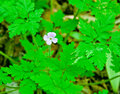 Herb robert the is a wild strain of geranium it grows in rich woodlands of the northeastern united states Royalty Free Stock Photo