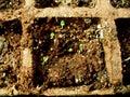 Herb Seedlings Royalty Free Stock Photo