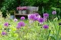 Herbaceous border with allium Purple sensation Royalty Free Stock Photo