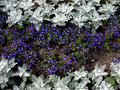 Herbaceous border of Lobelia and Cineraria Royalty Free Stock Photography