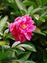 Herbaceous peony chinese petals obovate faceplate for shallow goblet flowering months generally only open at the top of the stem Stock Photo