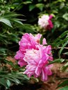 Herbaceous peony chinese petals obovate faceplate for shallow goblet flowering months generally only open at the top of the stem Stock Photos