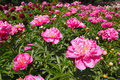 Herbaceous peony flowers the are blooming scientific name paeonia lactiflora Royalty Free Stock Images