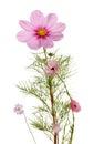 Herbaceous perennial plants Royalty Free Stock Photo