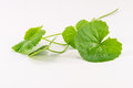 Herbal centella asiatica herb leaf Stock Image
