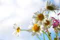 chamomile,  daisies flowers over the blue sky Royalty Free Stock Photo