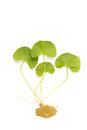 Herbal medicine from centella asiatica Stock Image