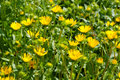 The herbal plant gumweed Royalty Free Stock Photo