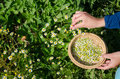 Herbalist hand pick camomile herbal flower blooms Royalty Free Stock Photo