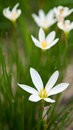Herbe de candida de Zephyranthes Photographie stock