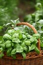 Herbs detail of basket with fresh basil sage oregano in the garden Royalty Free Stock Images