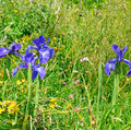 herbs and flowers of iris Royalty Free Stock Photo