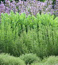 Herbs garden bed Royalty Free Stock Photo