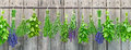 Herbs hanging on garden wall tied and in a row in front of a wooden lavender thyme rosemary mint oregano and lovage Stock Photo