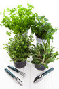 Herbs for planting with garden tools Stock Images