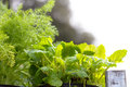 Herbs for sale at market dill and peppermint the vegetable garden plenty of copy space Royalty Free Stock Photography
