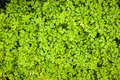 Herbs used in the kitchen: Parsley Petroselinum crispum Royalty Free Stock Photo