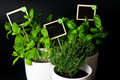 Herbs in white pot on black background. Basil, thyme and mint. Royalty Free Stock Photo