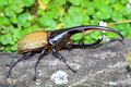 Hercules beetle Royalty Free Stock Photo