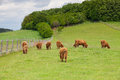 The herd of aberdeen angus on spring meadow eating grass Royalty Free Stock Photo