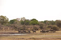 Herd of african bush elephants kruger national park south africa Royalty Free Stock Photo