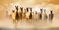 Herd of akhal teke horses in dust running to pasture the Stock Photo