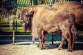 Herd of american bison bison bison or buffalo Royalty Free Stock Photo